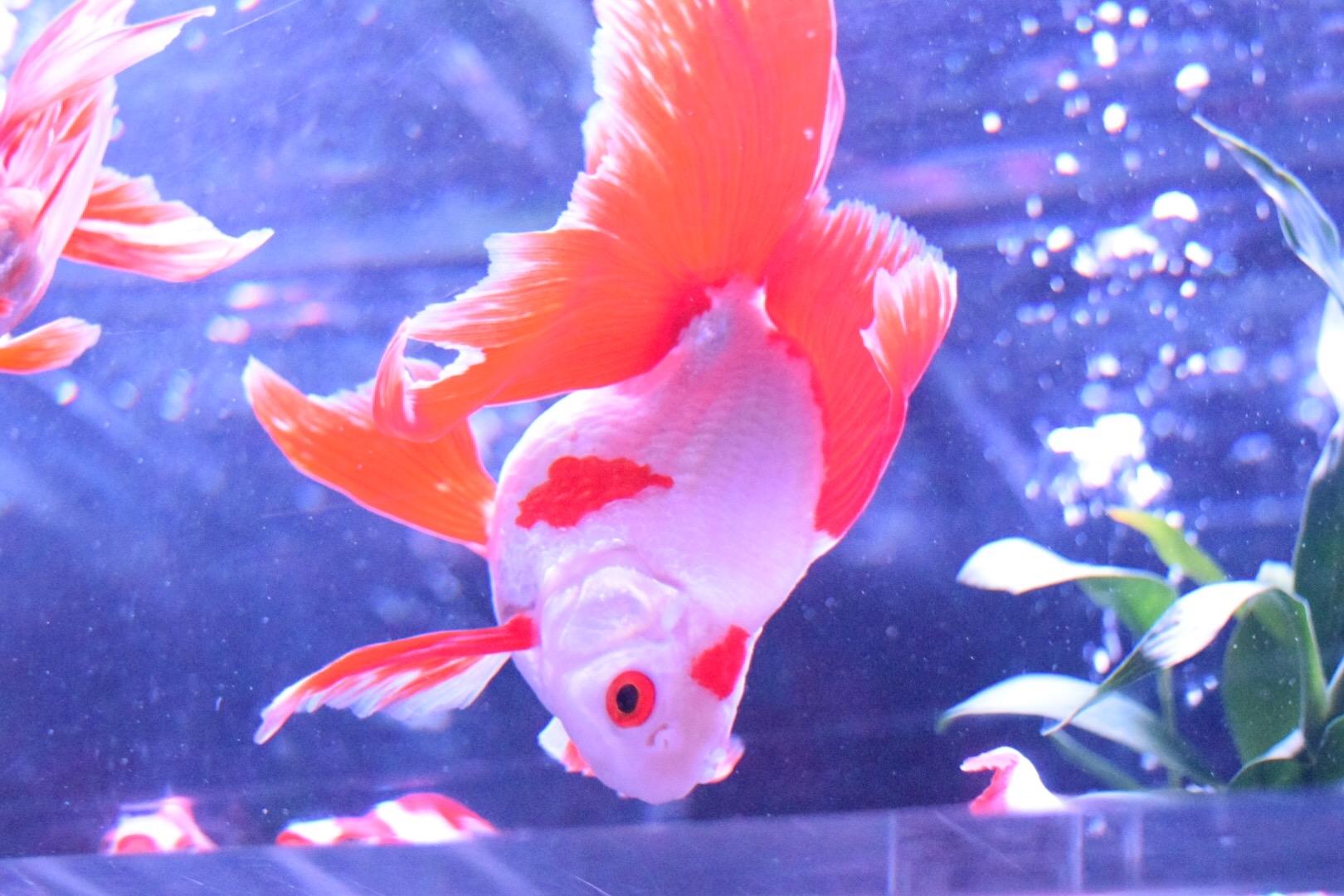 灼熱の金魚注意報?!水槽の水温を下げるにはどうしたらいい?